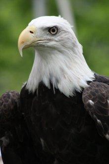 american_bold_eagle_by_foxsilong-d8xq4c7