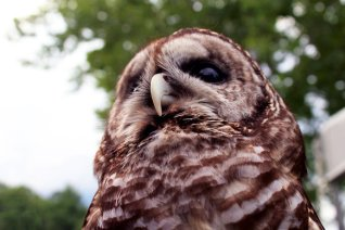 barred_owl_by_foxsilong-d8xq32h
