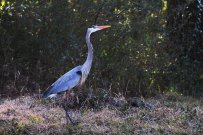 blue_heron_by_foxsilong-d8j2sy3