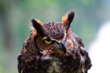 great_horned_one_eyed_owl_by_foxsilong-d8xq4am