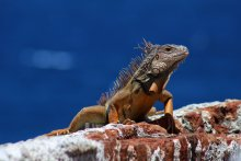 iguana_in_the_blue_and_red_by_foxsilong-d8t69yb
