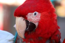 red_feather_by_foxsilong-d8t6ahg
