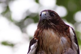 red_tailed_hawk_by_foxsilong-d8xq4bp