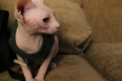 sphynx_cat_by_foxsilong-d6x7t0i